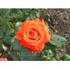 Саженец розы Верано: фото и описание