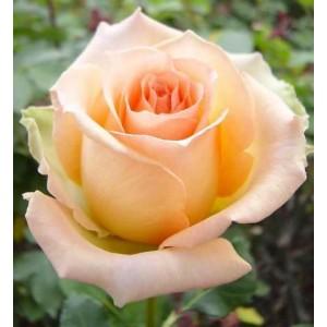 Саженец розы Версилия