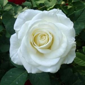 Саженец розы Вирджиния