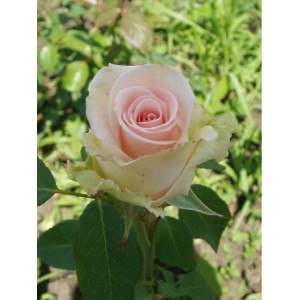 Саженец розы Вивальди