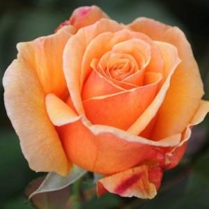 Саженец розы Voodoo-Вуду