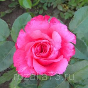 Саженец розы Высоцкого или ВенСаженец розы
