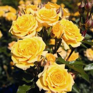 Саженец розы Йеллоу Клементин