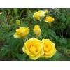 Саженец спрей розы Yellow Eveline (Йеллоу Эвелин): фото и описание