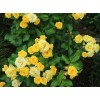 Саженец розы Yellow Eveline (Йеллоу Эвелин): фото и описание