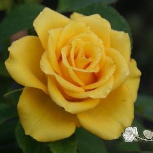 Саженец розы Yellow Sun