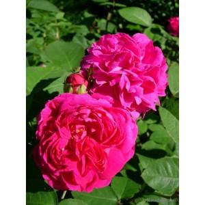 Саженец розы Жанна Д`арк