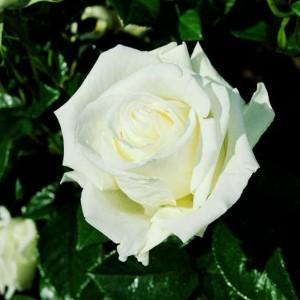 Саженец розы Жанна Моро (Jeanne Moreau)