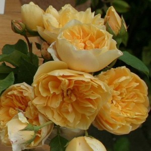 Саженец розы Золотое руно