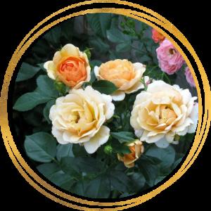 Саженец розы Зорба