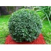 Саженец самшита вечнозелёный Бухус: фото и описание