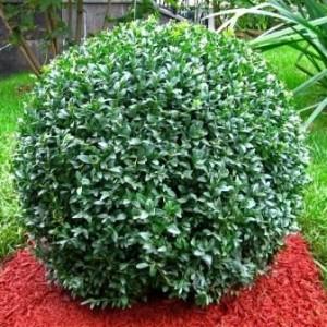 Саженец самшита вечнозелёный Бухус