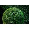 Саженец самшита вечнозеленый Элеганс: фото и описание