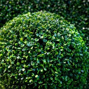 Саженец самшита вечнозеленый Элеганс
