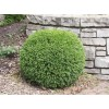 Саженец самшита вечнозелёный Маргината: фото и описание