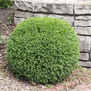 Саженец самшита вечнозелёный Маргината