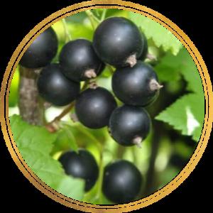 Саженцы черной смородины оптом