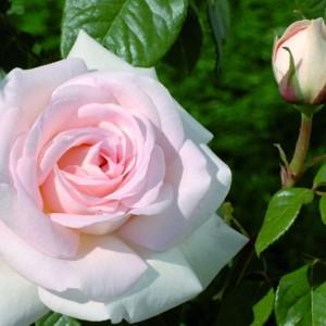 Саженец штамбовой розы Александр Пушкин