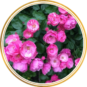 Саженец штамбовой розы Ангела