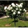 Саженец штамбовой розы Аннапюрна: фото и описание