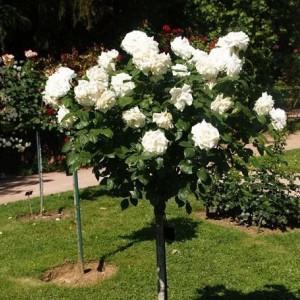 Саженец штамбовой розы Аннапюрна