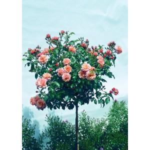 Саженец штамбовой розы Априкола