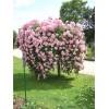 Саженец штамбовой розы Белла Вита: фото и описание