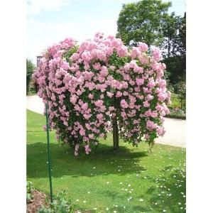 Саженец штамбовой розы Белла Вита