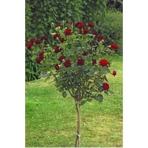 Саженец штамбовой розы Блэк Баккара