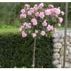 Саженец штамбовой розы Боника: фото и описание