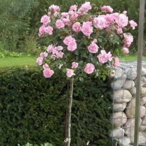 Саженец штамбовой розы Боника