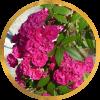 Саженец штамбовой розы Динки: фото и описание
