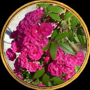 Саженец штамбовой розы Динки