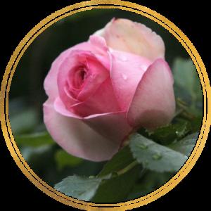 Саженец штамбовой розы Эден Роуз