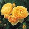 Саженец штамбовой розы Эмбер Куин: фото и описание