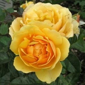 Саженец штамбовой розы Эмбер Куин
