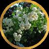 Саженец штамбовой розы Франсин Остин: фото и описание