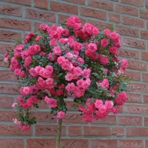 Саженец штамбовой розы Книрпс