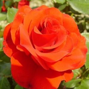 Саженец штамбовой розы Ремембрэнс