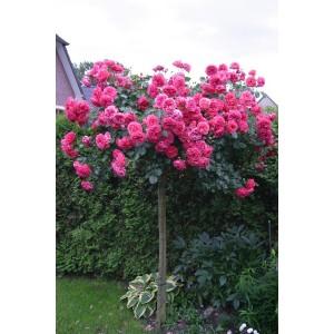 Саженец штамбовой розы Розариум Ютерзен