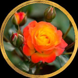Саженец штамбовой розы Румба