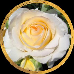 Саженец штамбовой розы Шопен