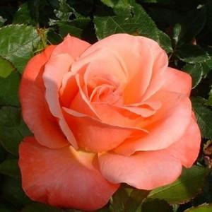 Саженец штамбовой розы Сильве Джюбилей