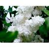Саженец белой сирени белой Жанна Д`Арк: фото и описание