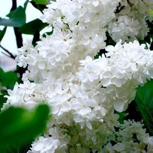 Саженец белой сирени белой Жанна Д`Арк