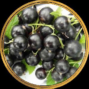 Саженец черной смородины Белорусская сладкая