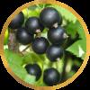 Саженец черной смородины Дачница: фото и описание