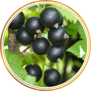 Саженец черной смородины Дачница