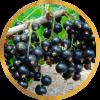 Саженец черной смородины Литвиновская: фото и описание
