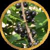 Саженец черной смородины Сахарная: фото и описание